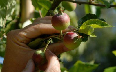 Junifald – udtynding af æbler