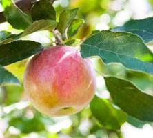 September: Æbler på vildstamme