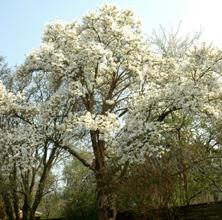 April: Magnolia