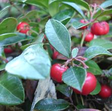 Røde bær i efterårets krukker