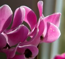 Januar: Cyclamen, en tidløs vinterblomst