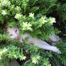 Grønne Hebe – spændende og dekorative til krukker og haver