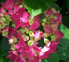 August: Hortensia