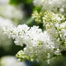 Maj: Hvid skønhed