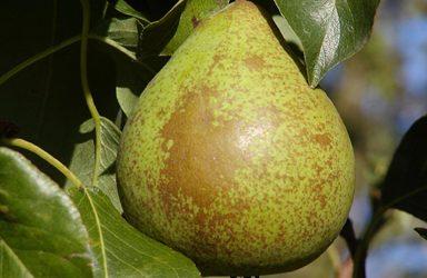 September: Pæresorter