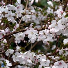 April: Fujikirsebær