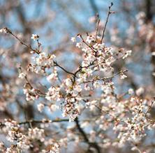 Så blev det for alvor forår, og træerne blomstrer