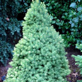 Picea-glauca-Conica