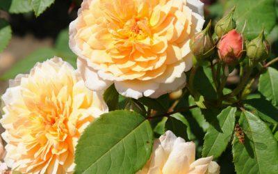 Gødning til roser