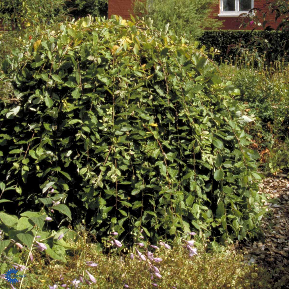 Salix-caprea-Kilmarnock01