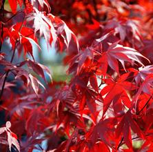 Oktober: Japansk Ahorn