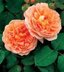 Juli: Engelske roser