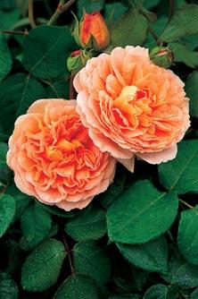 Engelske roser, Abraham Darby