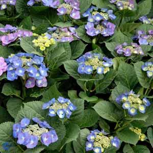 hydrangea-macrophylla-blaumeise