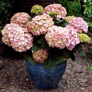 hydrangea-macrophylla-dorthea
