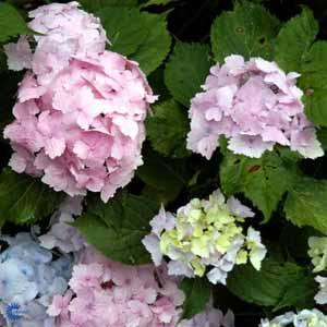 hydrangea-macrophylla-frillibet