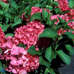 hydrangea-macrophylla-lk49