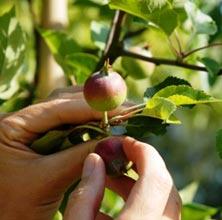 Frugtsætning og junifald
