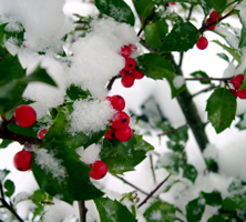 December: Kristtorn