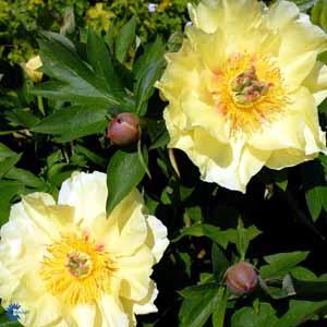 paeonia-garden-treasure