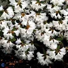 rhododendron-doraamateis