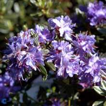 rhododendron-impeditum