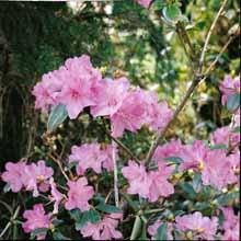 rhododendron-praecox