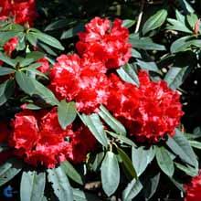 rhododendron-taurus