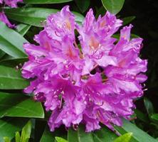 April: Rododendron sætter kulør på foråret