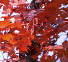 November: Rød eg