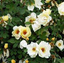 Rosenbuske til forsommeren