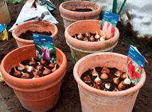tulipaner-i-krukker