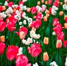 Succes med tulipaner