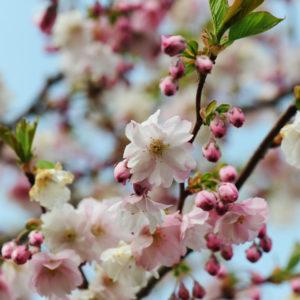 April – Japansk kirsebær