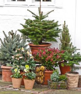 December Juletræer i potter