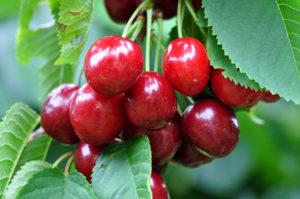 Juli – Kirsebær