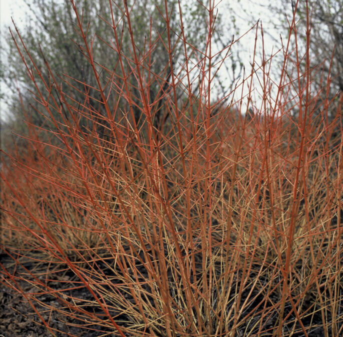 Januar – Rød kornel