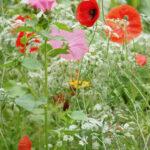Vilde blomster til din have
