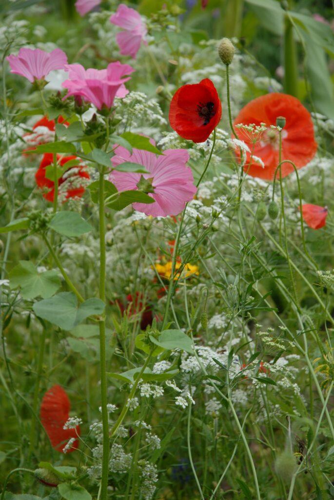 Vilde blomster til haven