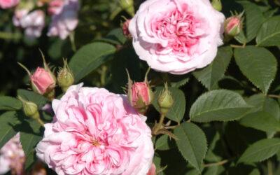 Juni-Juli Historiske roser