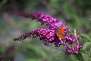 August – Sommerfuglebusk